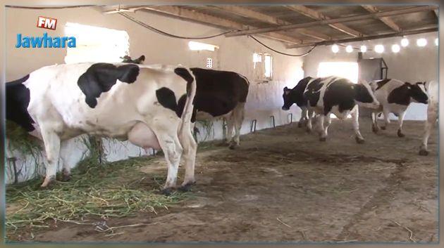 نقص بـ 5 % في القطيع : اجراءات للتصدي لتهريب الأبقار