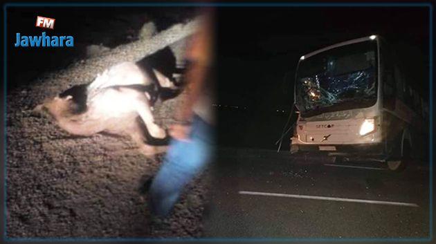 طريق المتلوي توزر : حادث مرور بين حافلة ركّاب وجمل سائب