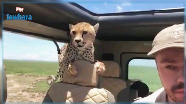 Tanzanie : Un guépard entre par surprise dans une voiture de touristes (Vidéo)