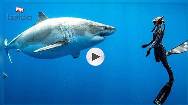 En vidéo, des plongeurs nagent avec un requin blanc géant à Hawaï